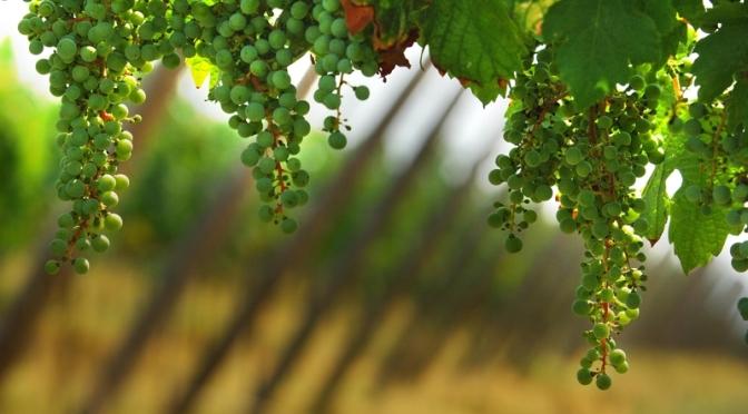 Tra la vite e l'uva c'è la Vita Nova
